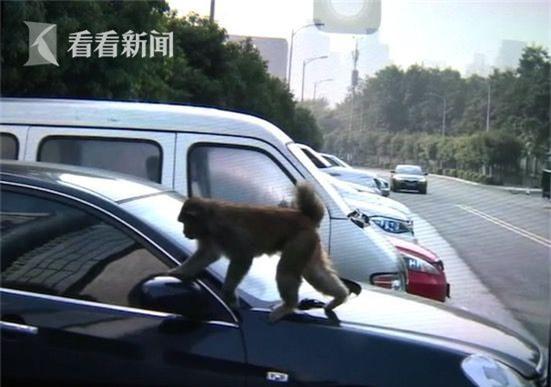 Nhận được một đặc ân, chú khỉ ngày nào cũng tiễn người phụ nữ ra về sau giờ làm - Ảnh 2.