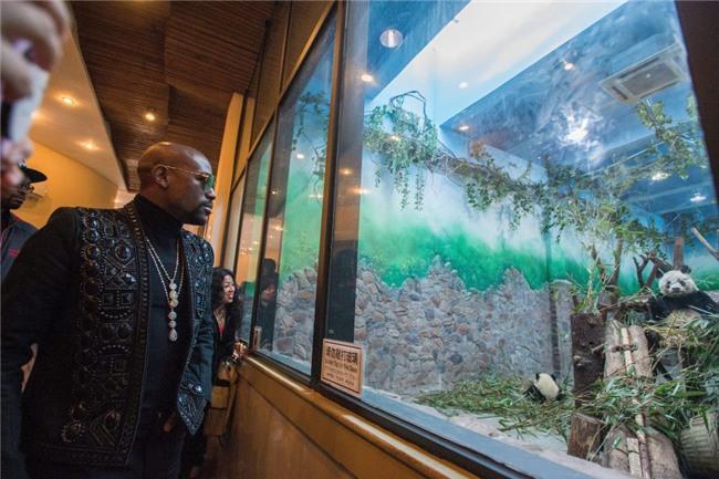 Mayweather trả 330 triệu đồng để nhận nuôi gấu trúc Trung Quốc - Ảnh 1.