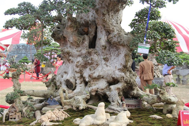 Đại gia xếp hàng 2 năm, cõng bao tải tiền mua cây duối cổ trăm năm