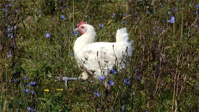 Thịt gà sang chảnh giá 1 triệu đồng/kg có gì đặc biệt?