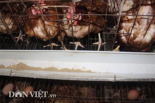 "lam giau nong thon: nuoi 2 van ga de sieu khoe, lai ""khung"" 50 trieu/thang hinh anh 3"