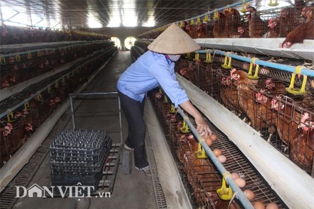 "lam giau nong thon: nuoi 2 van ga de sieu khoe, lai ""khung"" 50 trieu/thang hinh anh 4"