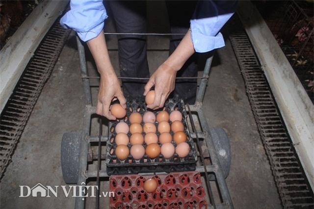 "lam giau nong thon: nuoi 2 van ga de sieu khoe, lai ""khung"" 50 trieu/thang hinh anh 5"