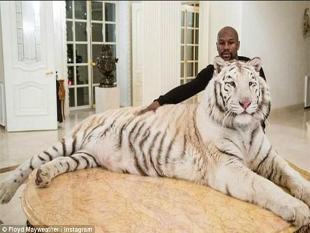 Liều mạng như Mayweather: Đùa giỡn với hổ trắng khổng lồ - 1