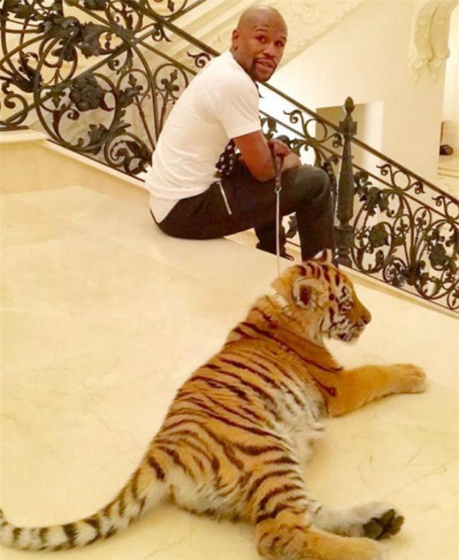 Liều mạng như Mayweather: Đùa giỡn với hổ trắng khổng lồ - 3