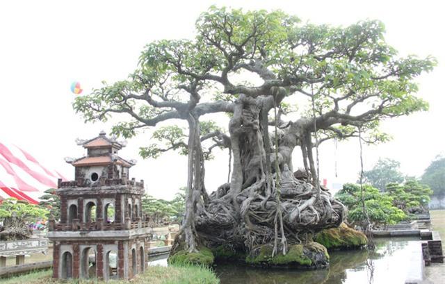 cây sanh,cây cảnh,cây cảnh tiền tỷ
