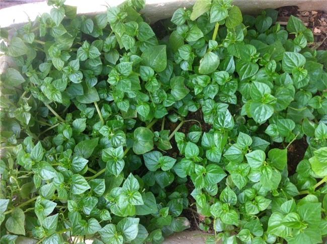 rau dại,đặc sản rau dại,rau sạch,rau tầm bóp,rau càng cua,rau sam