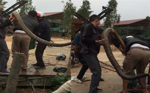 Chuyên gia tiết lộ sốc về con rắn khổng lồ nặng 20kg ở Vĩnh Phúc - Ảnh 1.
