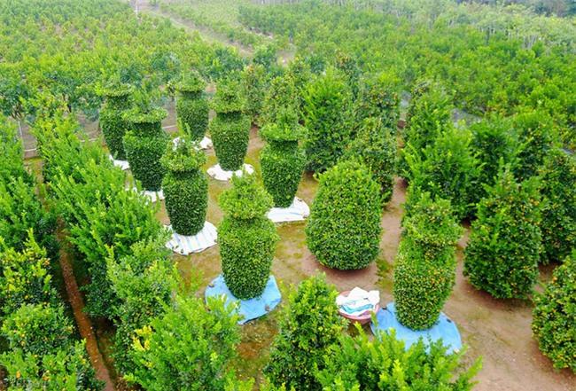 Độc đáo vườn quất kiểng dáng lộc bình cao tới 3 mét, giá chục triệu đồng phục vụ Tết Nguyên đán - Ảnh 2.