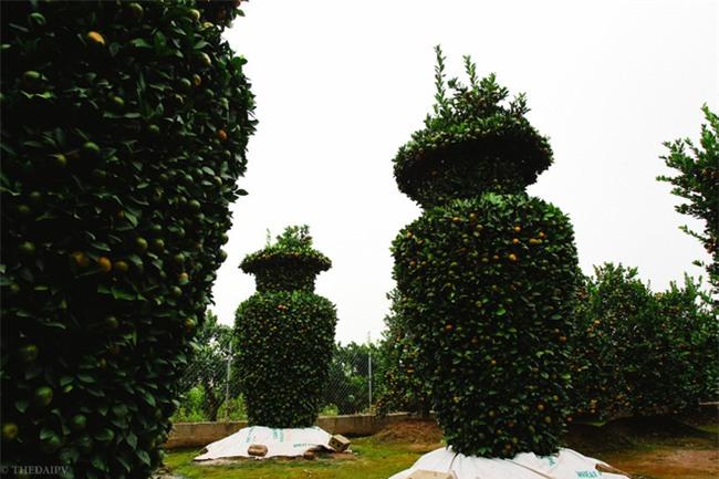Độc đáo vườn quất kiểng dáng lộc bình cao tới 3 mét, giá chục triệu đồng phục vụ Tết Nguyên đán - Ảnh 3.