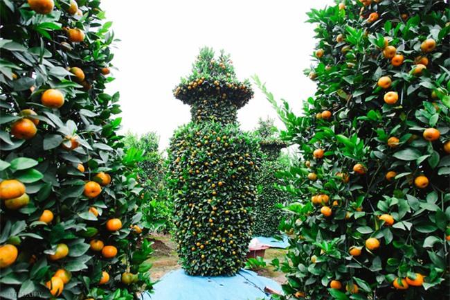 Độc đáo vườn quất kiểng dáng lộc bình cao tới 3 mét, giá chục triệu đồng phục vụ Tết Nguyên đán - Ảnh 4.