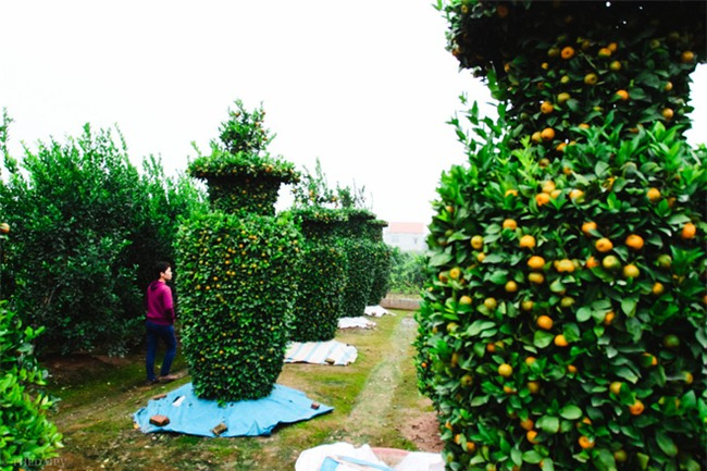 Độc đáo vườn quất kiểng dáng lộc bình cao tới 3 mét, giá chục triệu đồng phục vụ Tết Nguyên đán - Ảnh 5.