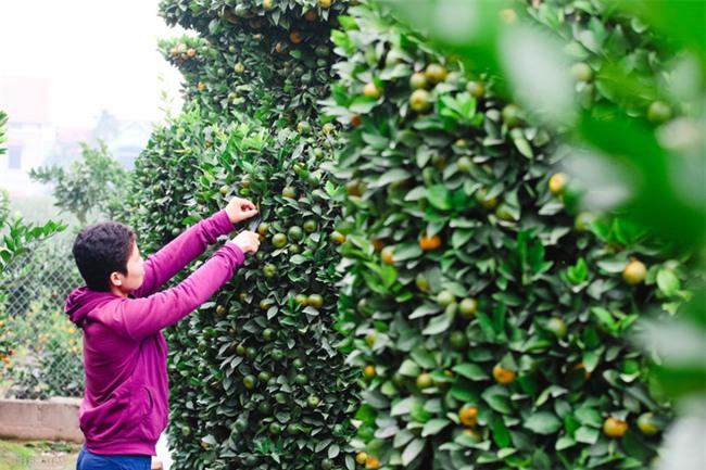 Độc đáo vườn quất kiểng dáng lộc bình cao tới 3 mét, giá chục triệu đồng phục vụ Tết Nguyên đán - Ảnh 7.