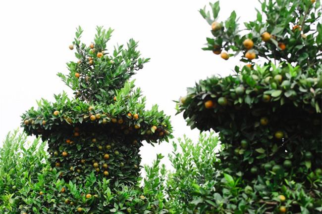Độc đáo vườn quất kiểng dáng lộc bình cao tới 3 mét, giá chục triệu đồng phục vụ Tết Nguyên đán - Ảnh 8.
