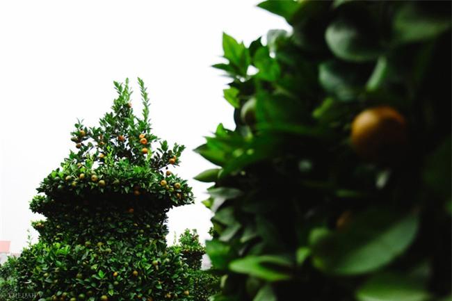 Độc đáo vườn quất kiểng dáng lộc bình cao tới 3 mét, giá chục triệu đồng phục vụ Tết Nguyên đán - Ảnh 9.