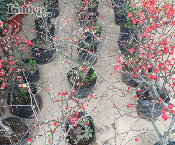 Nhiều người tấp nập nhập hoa mai đỏ, giá bán chỉ 200.000 đồng/cây về buôn Tết