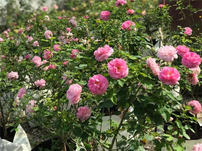 hoa hồng,trồng hoa hồng,khởi nghiệp từ hoa hồng,khởi nghiệp nông nghiệp