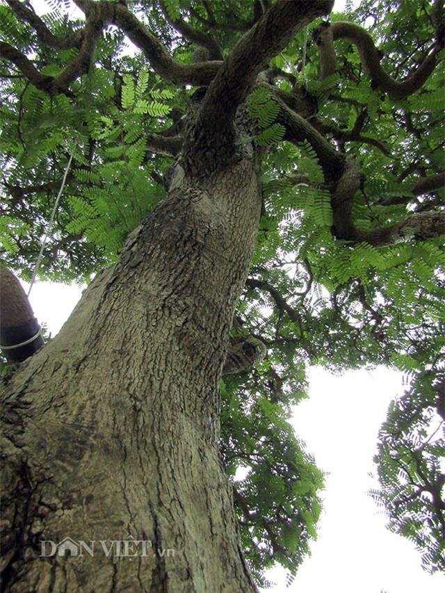 cây cổ thụ,cây cảnh tiền tỷ,cây cảnh