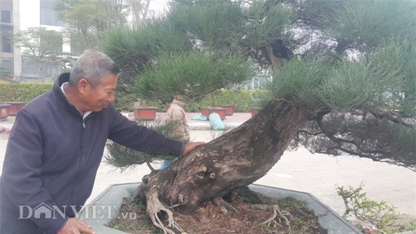 Ông Trung chăm sóc cây kiểng độc đáo của gia đình mình.