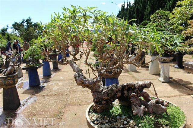 "la mat chiem nguong tac pham bonsai ""lao mi"" 25 nam tuoi hinh anh 2"