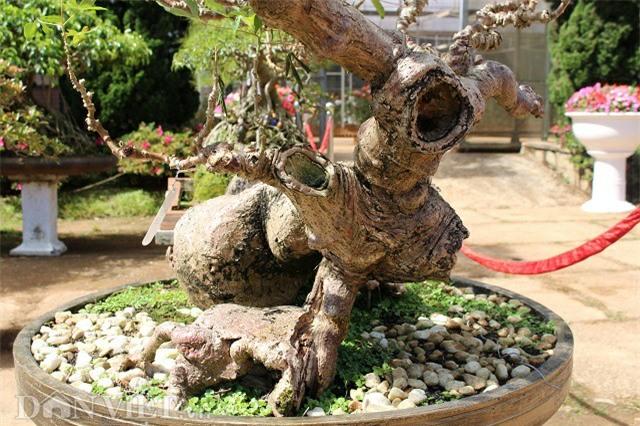 "la mat chiem nguong tac pham bonsai ""lao mi"" 25 nam tuoi hinh anh 4"