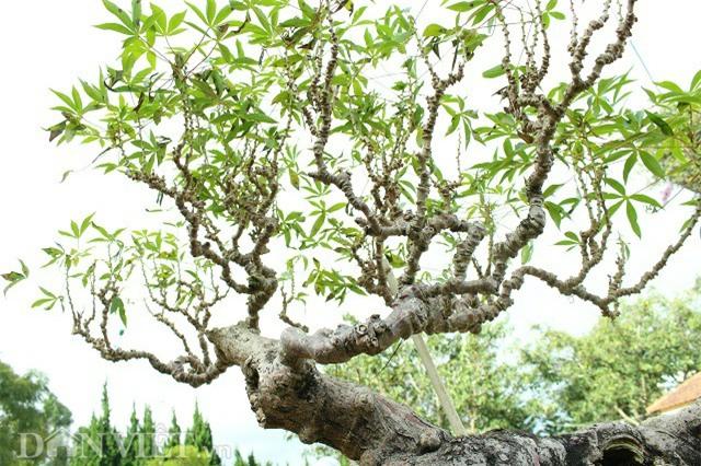 "la mat chiem nguong tac pham bonsai ""lao mi"" 25 nam tuoi hinh anh 8"
