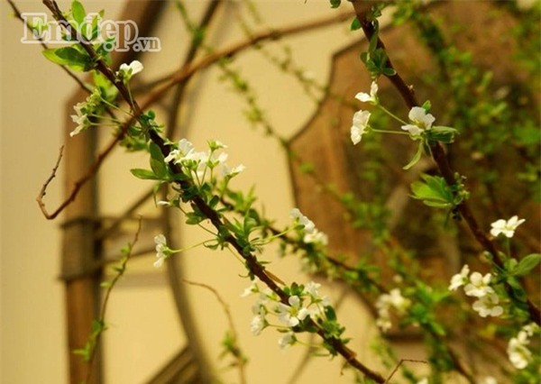 Chán đào đông - mai Mỹ, nhiều chị em chuyển sang chơi hoa anh đào Nhật, tuyết mai Đài Loan chơi Tết