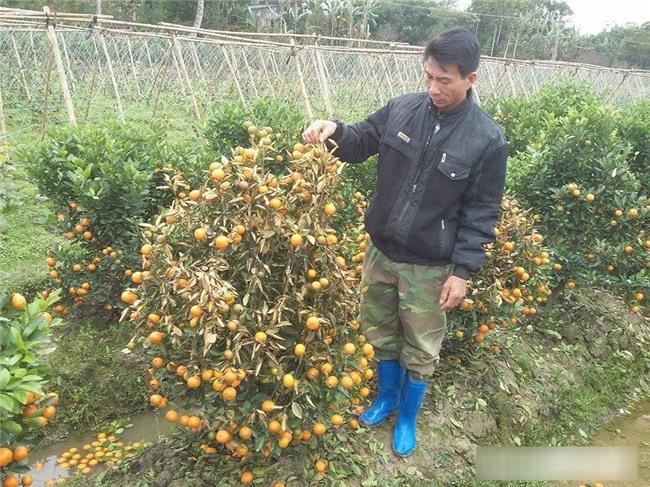 Kẻ xấu dùng thuốc diệt cỏ sát hại hơn 300 cây quất cảnh