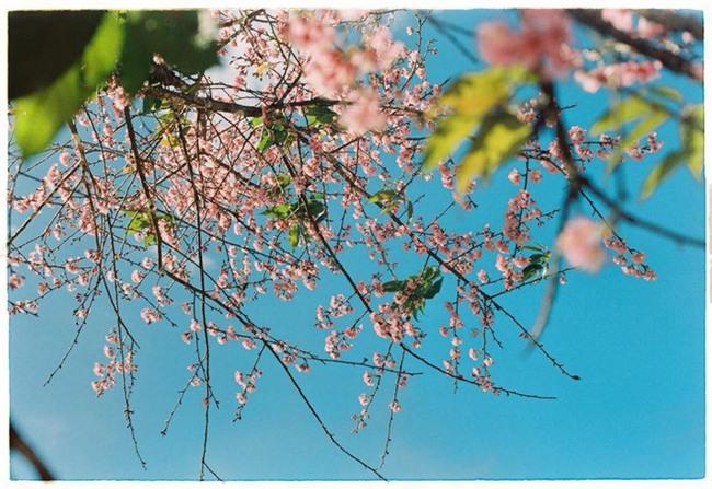 Lên Đà Lạt mùa này tuyệt như đi Nhật, có mai anh đào nở rộ rực hồng, trời lại rất xanh trong - Ảnh 1.