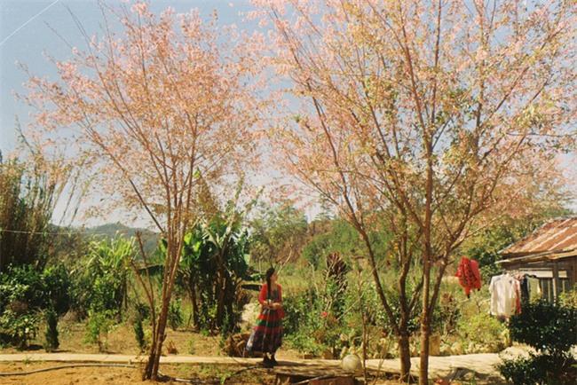 Lên Đà Lạt mùa này tuyệt như đi Nhật, có mai anh đào nở rộ rực hồng, trời lại rất xanh trong - Ảnh 11.