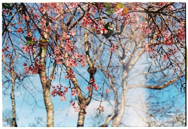 Lên Đà Lạt mùa này tuyệt như đi Nhật, có mai anh đào nở rộ rực hồng, trời lại rất xanh trong - Ảnh 3.