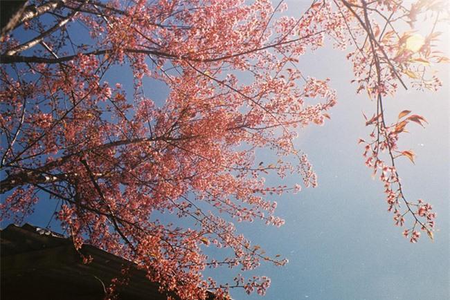 Lên Đà Lạt mùa này tuyệt như đi Nhật, có mai anh đào nở rộ rực hồng, trời lại rất xanh trong - Ảnh 8.