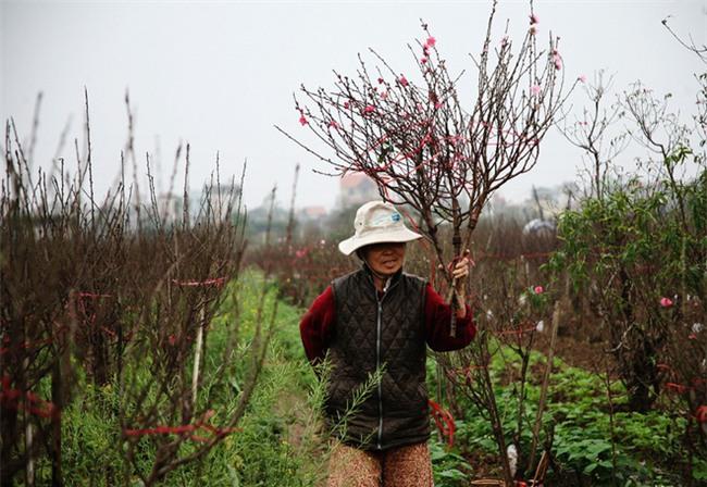Đào nở sai thời điểm, rớt giá chỉ còn 50.000 đồng/cành, nông dân Nhật Tân như ngồi trên đống lửa - Ảnh 5.
