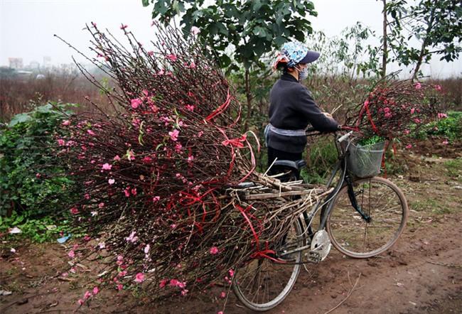 Đào nở sai thời điểm, rớt giá chỉ còn 50.000 đồng/cành, nông dân Nhật Tân như ngồi trên đống lửa - Ảnh 9.