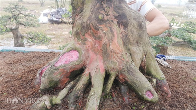 cây cảnh,cây cảnh tiền tỷ,chơi cây,tùng cổ