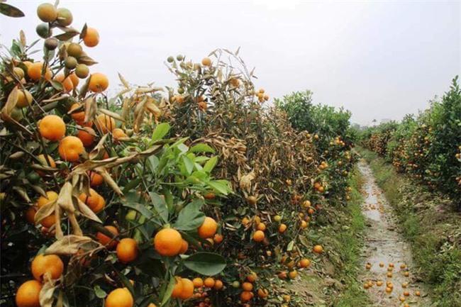 Hình ảnh người nông dân khóc nghẹn bên 450 gốc quất bị phá hoại dịp cận Tết khiến cộng đồng mạng xót xa - Ảnh 4.