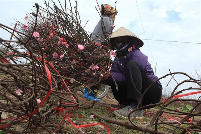 Hà Nội rét đậm, đào Nhật Tân sẽ đắt gấp 3 lần mọi năm?