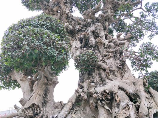 siêu cây tiền tỷ,cây cổ thụ,cây cảnh tiền tỷ,cây cảnh,chơi cây,duối cổ