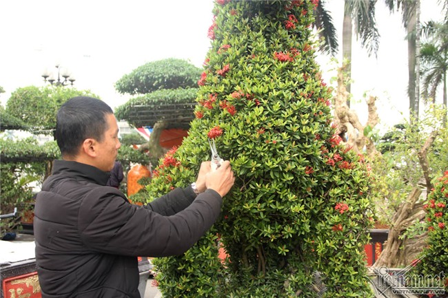 cây cảnh,cây kiểng,siêu cây cảnh,Hà Nội,cây mẫu đơn
