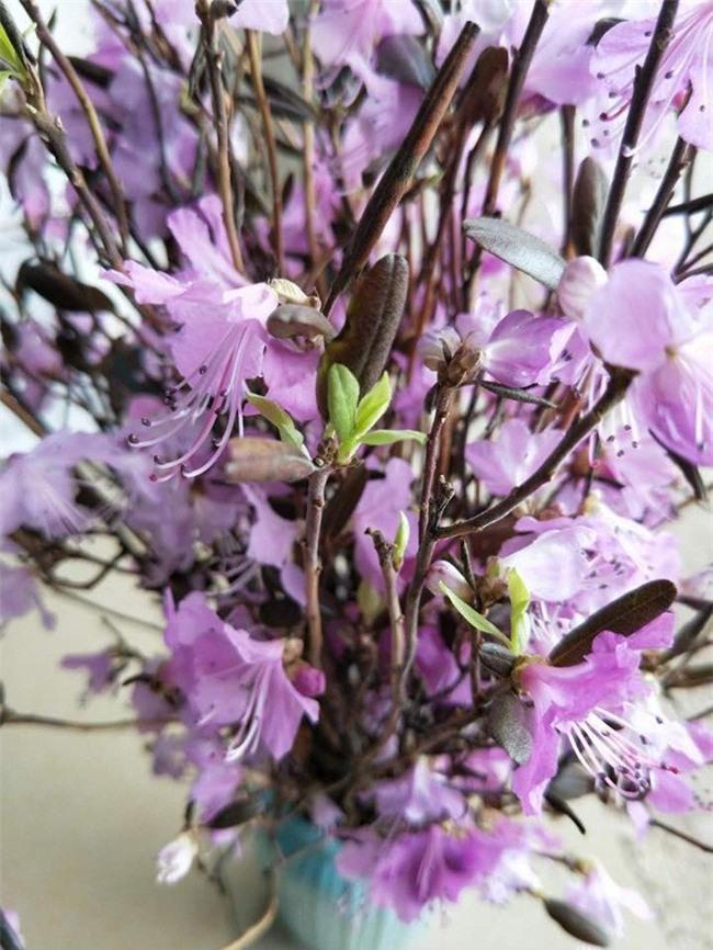 Sự thật về hoa đỗ quyên ngủ đông - cành củi khô bị tẩm hóa chất? - Ảnh 2.
