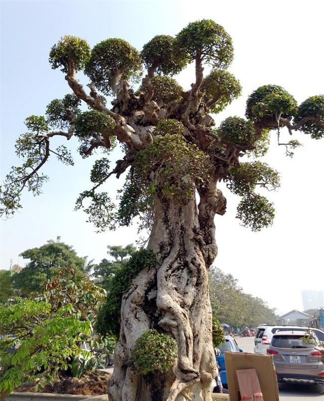 Choáng ngợp với cây duối tình mẫu tử hét giá 15 tỷ tại hội chợ Tết ở Hà Nội