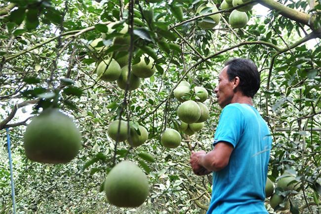 Hơn 1 triệu đồng một trái bưởi Tết ở làng Tân Triều