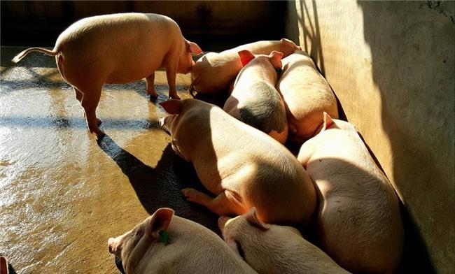 giun quế,thịt lợn sạch,thịt lợn,giá thịt lợn,đặc sản nhà giàu,thực phẩm Tết