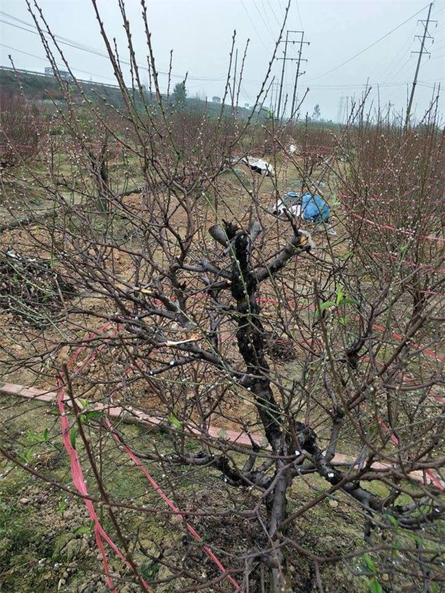 Bắc Ninh: Gia đình nông dân bị kẻ gian phá hoại cả trăm gốc đào Tết, có gốc cả chục triệu đồng