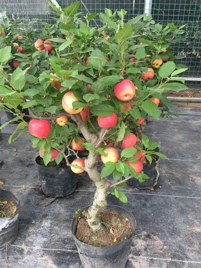 chơi cây cảnh, táo Trung Quốc, Thị trường tết