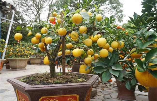 "chanh vang bonsai phu quy doc la the nao ma dang gay ""sot"" o thu do? hinh anh 11"