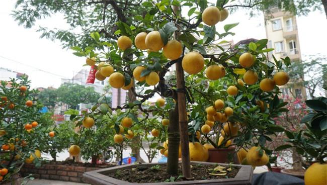 "chanh vang bonsai phu quy doc la the nao ma dang gay ""sot"" o thu do? hinh anh 12"