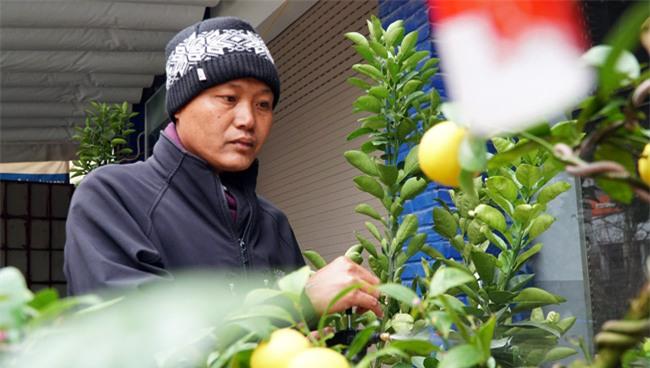 "chanh vang bonsai phu quy doc la the nao ma dang gay ""sot"" o thu do? hinh anh 4"