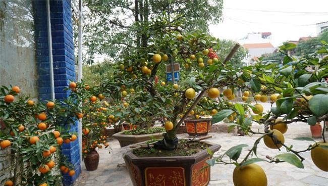 "chanh vang bonsai phu quy doc la the nao ma dang gay ""sot"" o thu do? hinh anh 5"