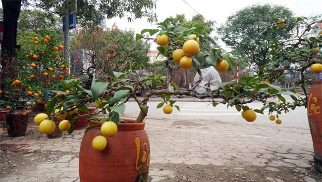 "chanh vang bonsai phu quy doc la the nao ma dang gay ""sot"" o thu do? hinh anh 7"